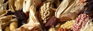 Various types of corn.