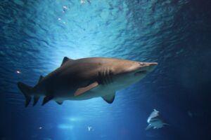 Shark swimming in the ocean.