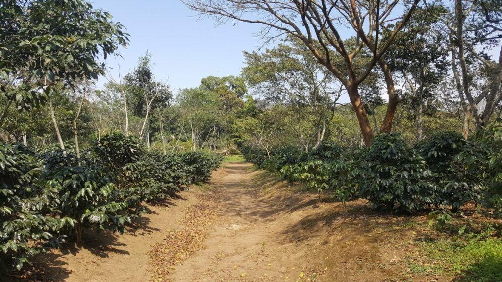 A coffee plantation.